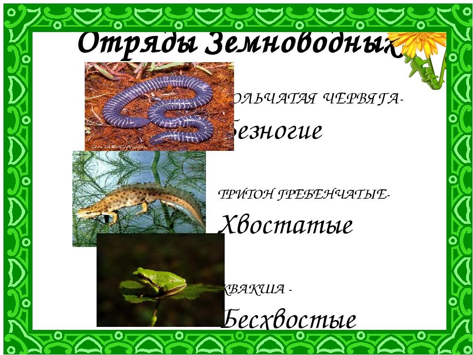 Отряды Земноводных КОЛЬЧАТАЯ ЧЕРВЯГА- Безногие ТРИТОН ГРЕБЕНЧАТЫЕ- Хвостатые...
