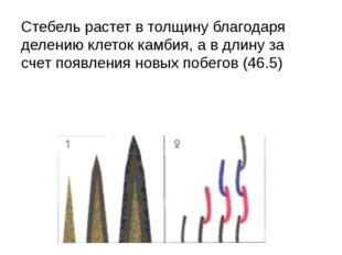 Стебель растет в толщину благодаря делению клеток камбия, а в длину за счет п