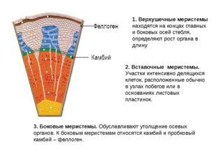 2. Вставочные меристемы. Участки интенсивно делящихся клеток, расположенные