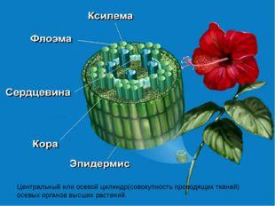 Центральный или осевой цилиндр(совокупность проводящих тканей) осевых органов