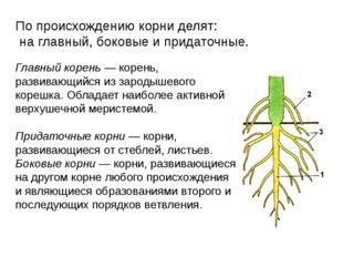 Главный корень — корень, развивающийся из зародышевого корешка. Обладает наиб