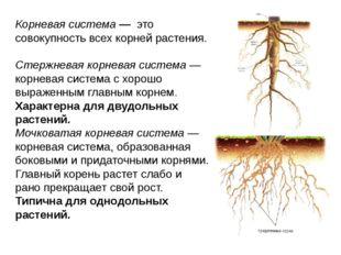 Корневая система — это совокупность всех корней растения. Стержневая корневая
