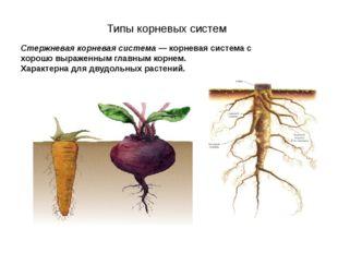 Стержневая корневая система — корневая система с хорошо выраженным главным к