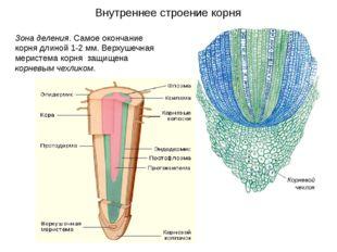 Зона деления. Самое окончание корня длиной 1-2 мм. Верхушечная меристема корн
