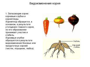 1. Запасающие корни: корневые клубни и корнеплоды. Корнеплод образуется, в ос