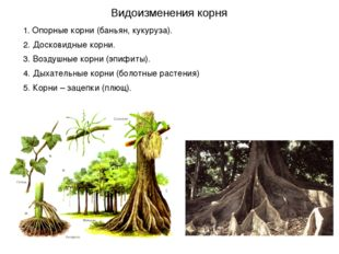 1. Опорные корни (баньян, кукуруза). 2. Досковидные корни. 3. Воздушные корни