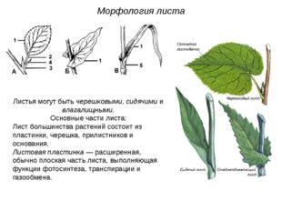 Листья могут быть черешковыми, сидячими и влагалищными. Основные части листа: