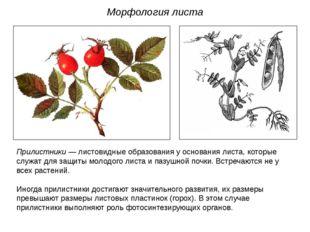 Прилистники — листовидные образования у основания листа, которые служат для з