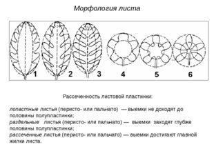 Рассеченность листовой пластинки: лопастные листья (перисто- или пальчато) —