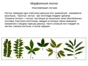 Классификация листьев: Листья, имеющие одну пластинку (цельную или выемчатую)