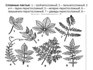 Сложные листья: 1 – тройчатосложный; 2 – пальчатосложный; 3 и 4 – парно-перис