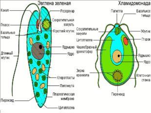 Это самый большой отдел водорослей (около 20000 видов). Распространены повсем