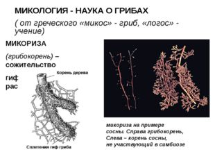 МИКОЛОГИЯ - НАУКА О ГРИБАХ ( от греческого «микос» - гриб, «логос» - учение)