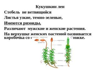 Кукушкин лен Стебель не ветвящийся Листья узкие, темно-зеленые, Имеются ризои