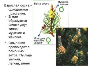 Взрослая сосна – однодомное растение. В мае образуются шишки двух типов- мужс