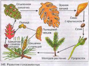 Листья - игловидные, многолетние.