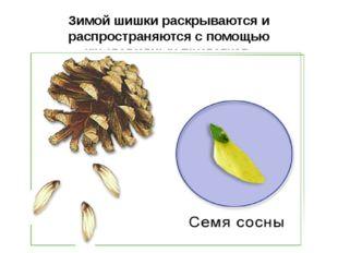 Зимой шишки раскрываются и распространяются с помощью крыловидных придатков.