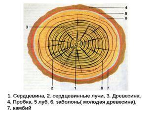 1. Сердцевина, 2. сердцевинные лучи, 3. Древесина, 4. Пробка, 5 луб, 6. забол