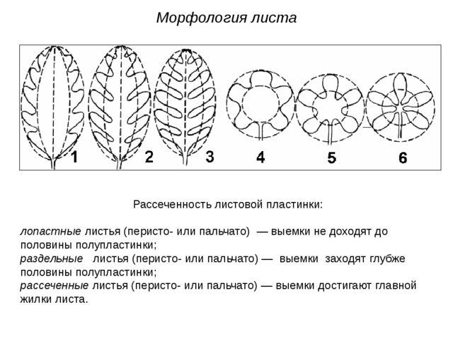 Рассеченность листовой пластинки: лопастные листья (перисто- или пальчато) —...