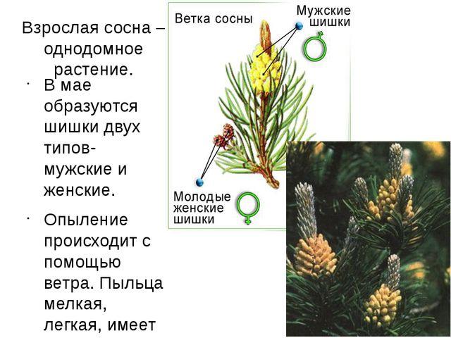 Взрослая сосна – однодомное растение. В мае образуются шишки двух типов- мужс...