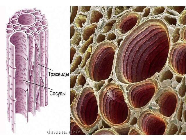 Ксилема (древесина)— (от греч. ксилон— дерево) проводящая жидкости сложная...