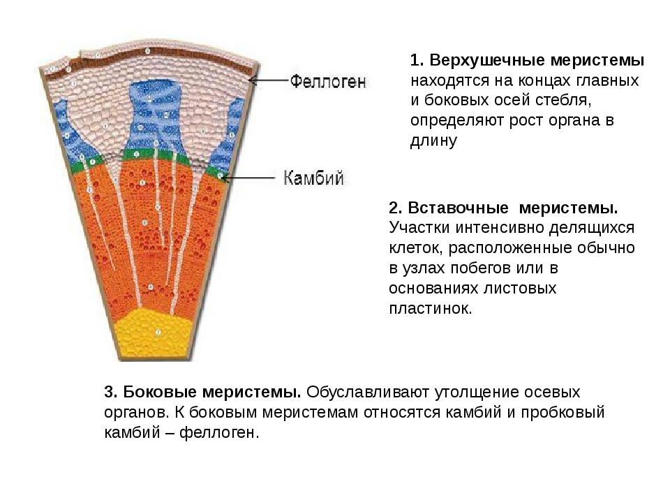 2. Вставочные меристемы. Участки интенсивно делящихся клеток, расположенные...