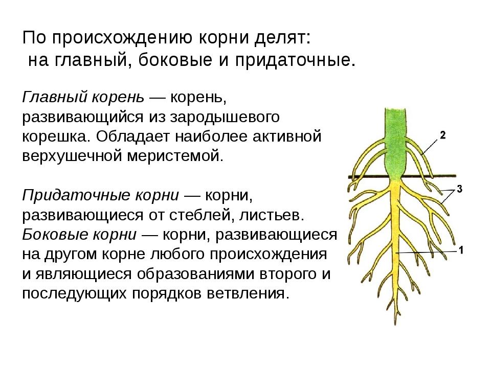 Главный корень — корень, развивающийся из зародышевого корешка. Обладает наиб...