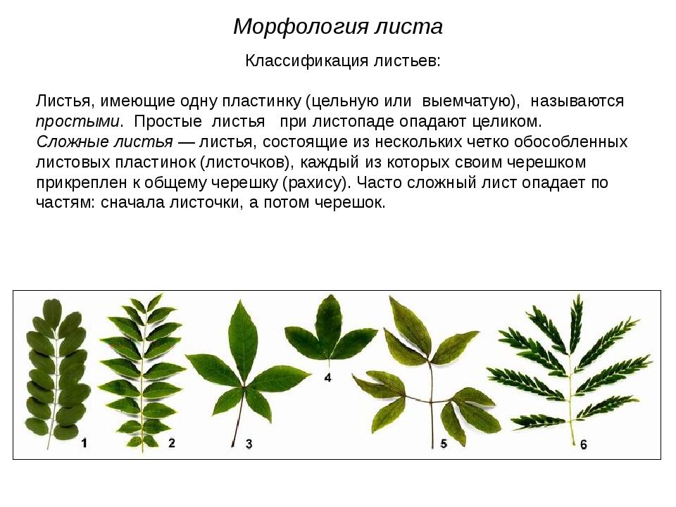 Классификация листьев: Листья, имеющие одну пластинку (цельную или выемчатую)...