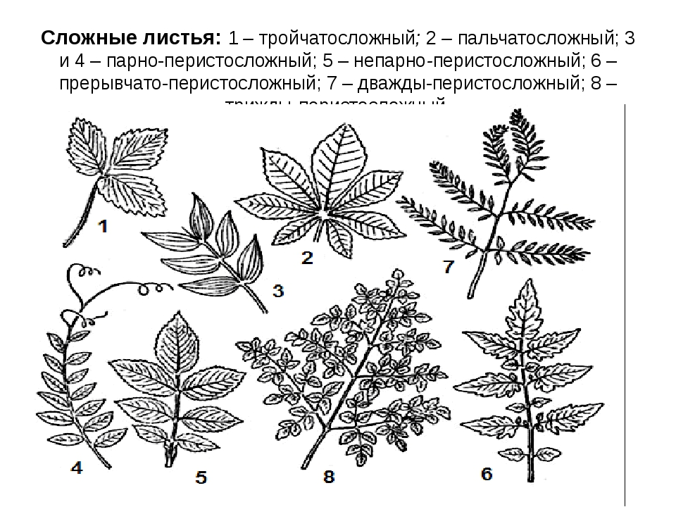 Сложные листья: 1 – тройчатосложный; 2 – пальчатосложный; 3 и 4 – парно-перис...
