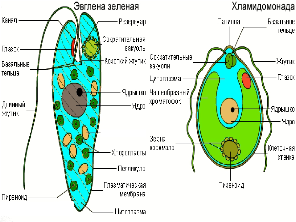 Это самый большой отдел водорослей (около 20000 видов). Распространены повсем...