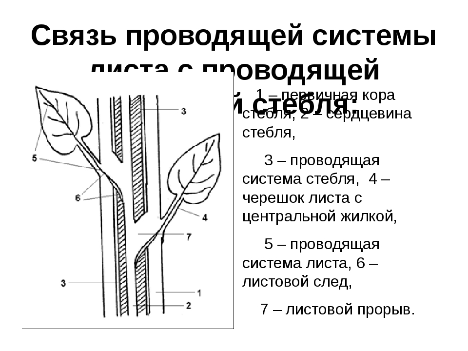 Связь проводящей системы листа с проводящей системой стебля: 1 – первичная ко...