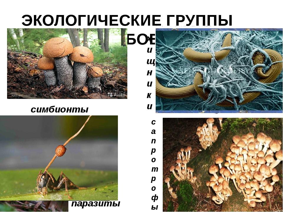ЭКОЛОГИЧЕСКИЕ ГРУППЫ ГРИБОВ симбионты паразиты хищники сапротрофы
