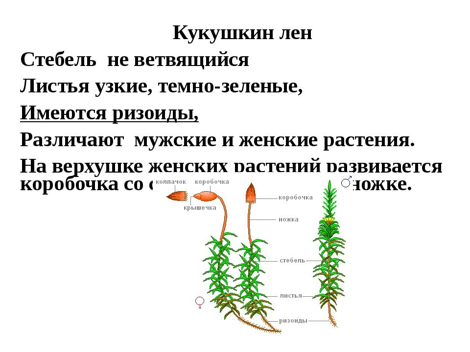 Кукушкин лен Стебель не ветвящийся Листья узкие, темно-зеленые, Имеются ризои...