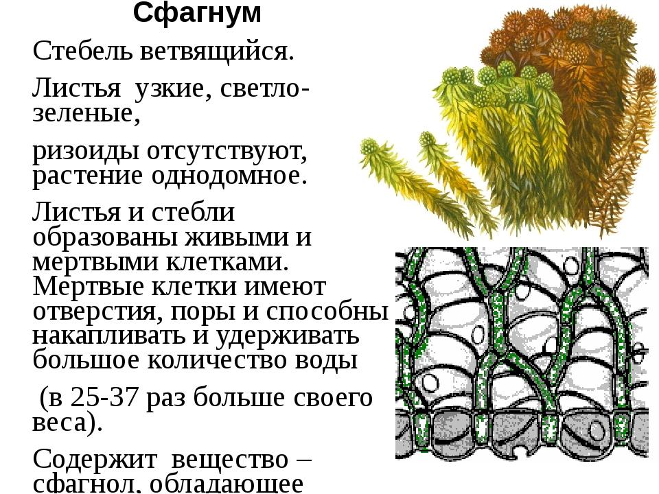 Сфагнум Стебель ветвящийся. Листья узкие, светло-зеленые, ризоиды отсутствуют...