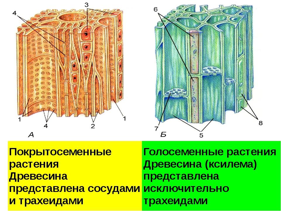 Проводящие ткани. А – ксилема; Б - флоэма 1 – сосуды ксилемы; 2 – трахеиды; 3...
