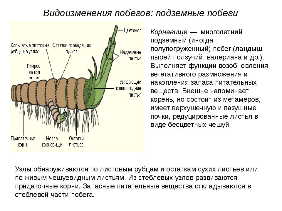 Видоизменения побегов: подземные побеги Корневище — многолетний подземный (ин...
