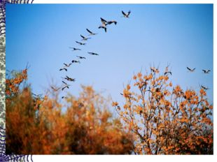 Сотни птиц, собравшись в стаи, Днем осенним улетают. А летят они туда, Где те