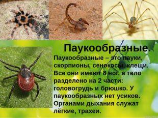 Паукообразные. Паукообразные – это пауки, скорпионы, сенокосы, клещи. Все они