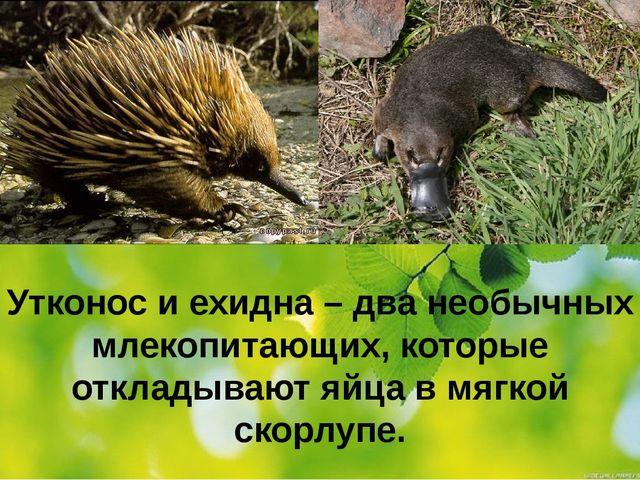 Утконос и ехидна – два необычных млекопитающих, которые откладывают яйца в мя...