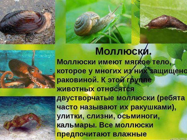 Моллюски. Моллюски имеют мягкое тело, которое у многих из них защищено ракови...