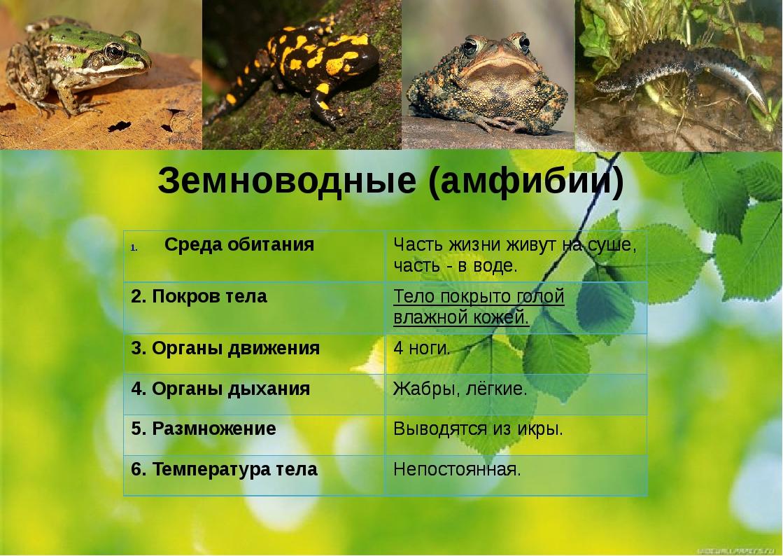 Земноводные (амфибии) Среда обитания 2. Покров тела 3. Органы движения 4. Орг...