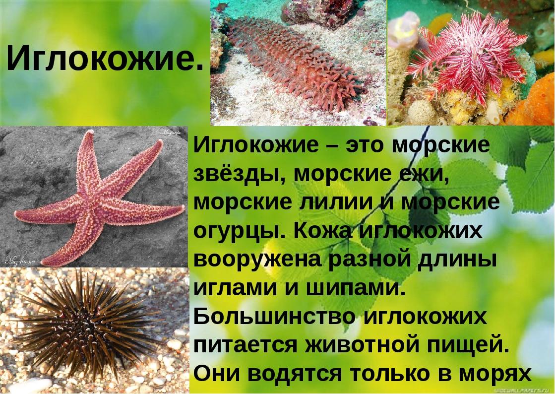 Иглокожие. Иглокожие – это морские звёзды, морские ежи, морские лилии и морс...