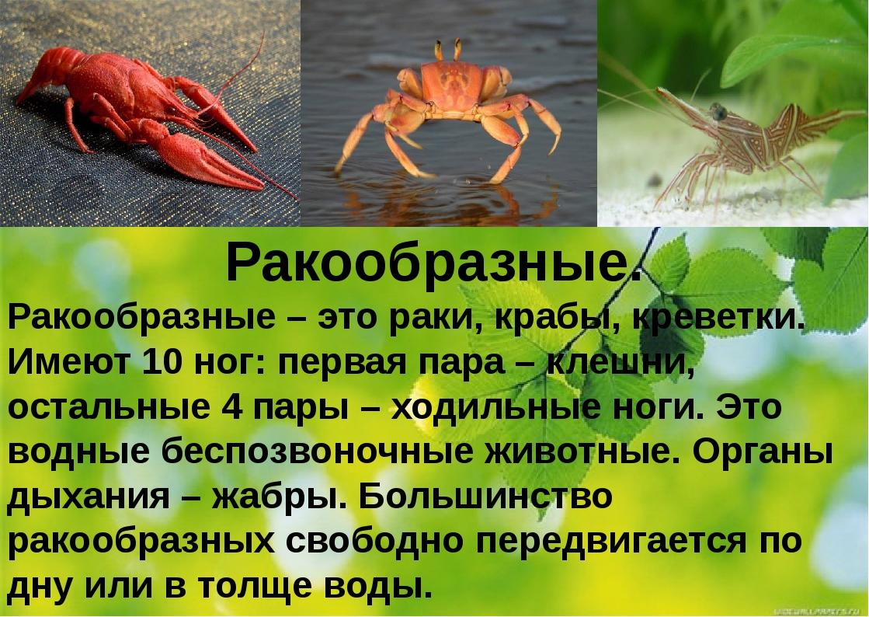 Ракообразные. Ракообразные – это раки, крабы, креветки. Имеют 10 ног: первая...