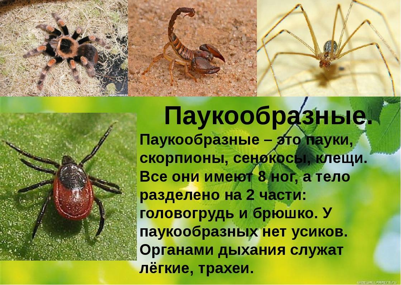 Паукообразные. Паукообразные – это пауки, скорпионы, сенокосы, клещи. Все они...