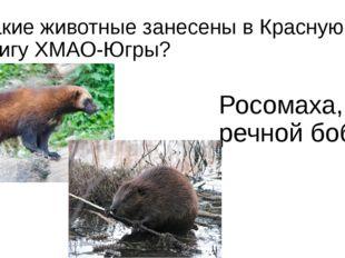 Какие животные занесены в Красную книгу ХМАО-Югры? Росомаха, речной бобр