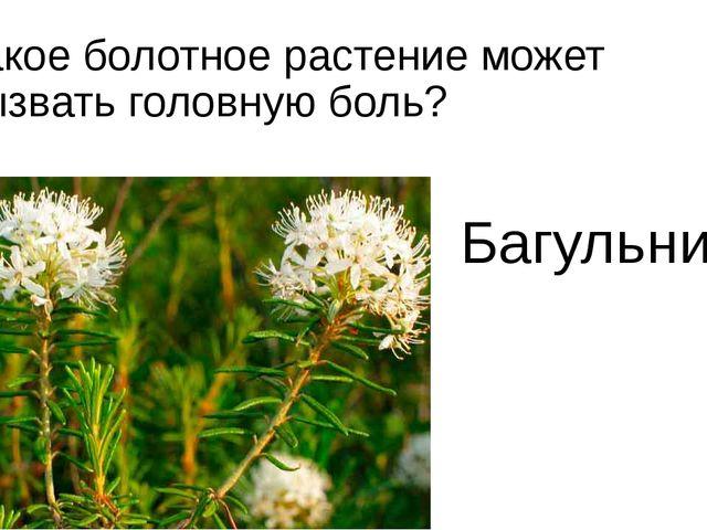 Какое болотное растение может вызвать головную боль? Багульник