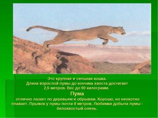 Это крупная и сильная кошка. Длина взрослой пумы до кончика хвоста достигает