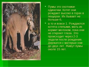 Пумы это охотники-одиночки. Котят они рождают высоко в горах в пещерах. Их бы