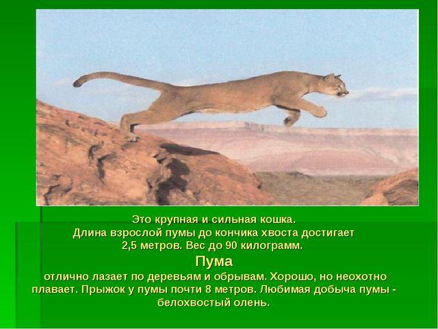 Это крупная и сильная кошка. Длина взрослой пумы до кончика хвоста достигает...