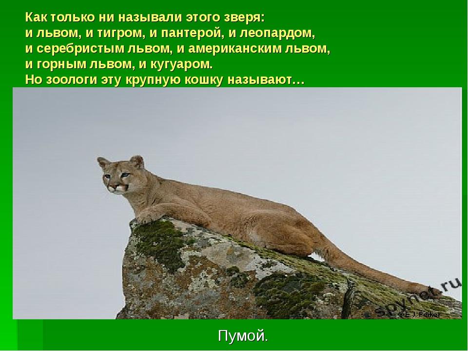 Как только ни называли этого зверя: и львом, и тигром, и пантерой, и леопардо...